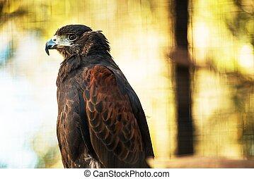 Bay-Winged Hawk - The Bay-Winged Hawk or Dusky Hawk.