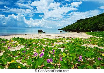 The Beach Morning Glory in ARAGUSUKU Coast-Ipomoea pes-...