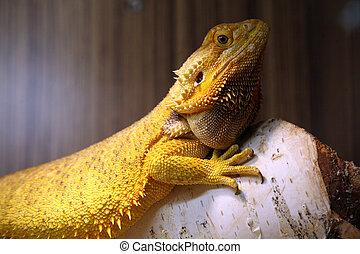 The Bearded Dragon is an Australian lizard