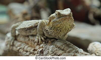 Bearded Dragon lizard - The Bearded Dragon lizard for the...
