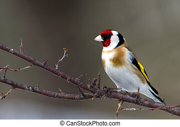 The beautiful and colorful European Goldfinch (Carduelis carduelis) sitting on a twig in the blackthorn bush, Uppland, Sweden