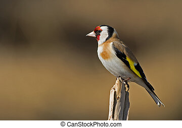 The beautiful and colorful European Goldfinch (Carduelis carduelis) sitting on a twig in the sun, Uppland, Sweden