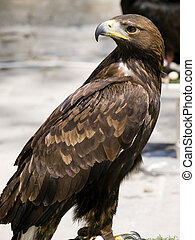 Aquila Chrysaetos - The beautiful and endangered Golden ...