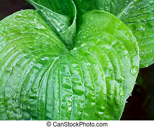 The beautiful and lush green leaves of the Hosta plant after a spring rain