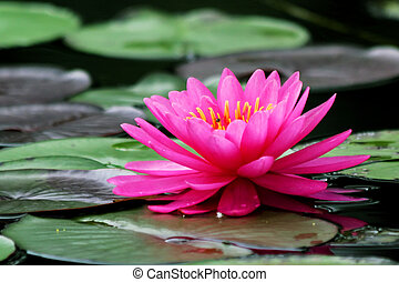 beautiful Blooming lotus flower