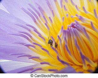 The beautiful Blooming lotus flower