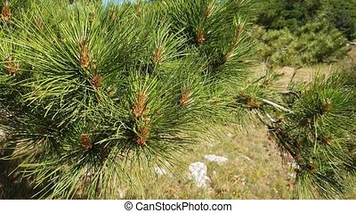 The Beautiful branches of Mediterranean pine - Beautiful ...