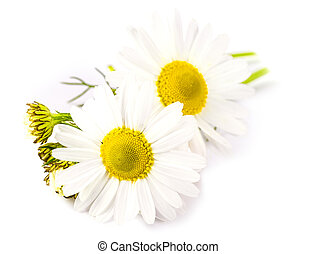 The Beautiful chamomile flowers on white