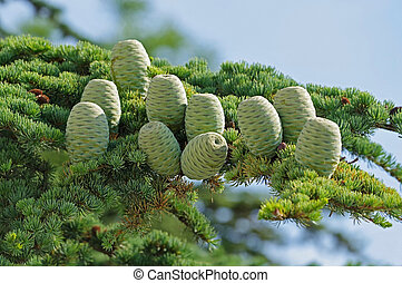 Beautiful cones on a spruce branch