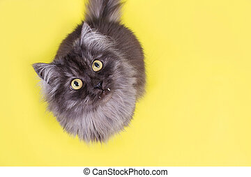 beautiful fluffy cat on a yellow background