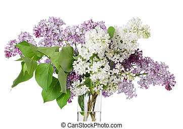 The beautiful lilac isolated on white