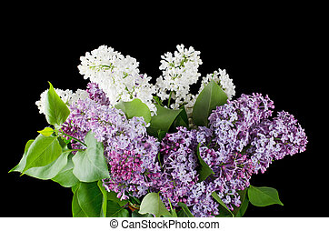 The beautiful lilac on black background