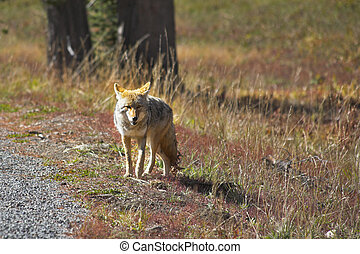 The beautiful meadow wolf in  park
