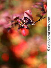 The beautiful red berries of the barberry