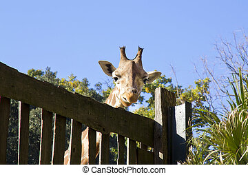 Giraffe in the nature