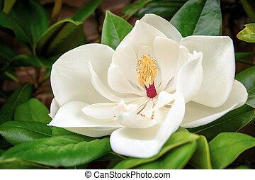 Magnolia Grandiflora - The beautiful white flower of the ...