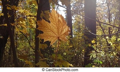 Yellow, transparent sheet maple. back light from the sun. Gentle wind blows