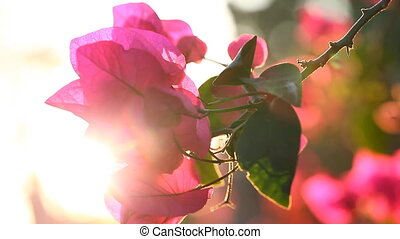 The beauty of nature. Sunset and flowers. Bougainvillea...