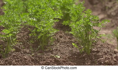 The beds of carrots