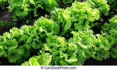 The beds of lettuce in garden