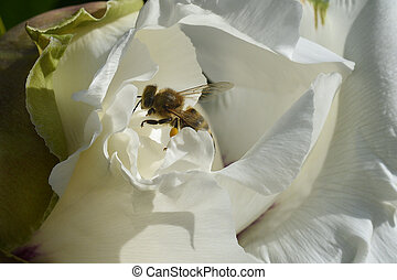 The bee collects honey inside large white gentle spring peony, the insect's legs in yellow pollen.