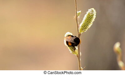 the bee collects nectar from flower