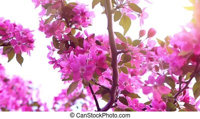 The bee collects nectar on a flowering pink branch,...