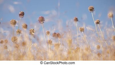 The bee flies over a hot, dry field in search of nectar Slowed video