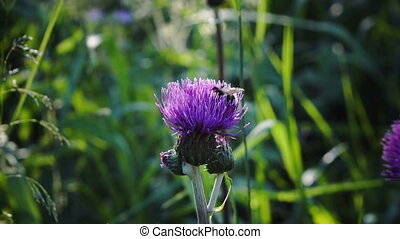 The bee gathers honey on a violet flower of a burdock in summer sunny day