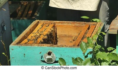 The bee-Keeper pulls out a frame of honey from the hive.