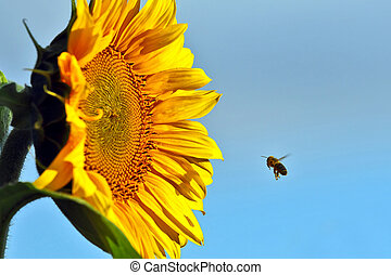 the bee pollinating the flower of a sunflower closeup