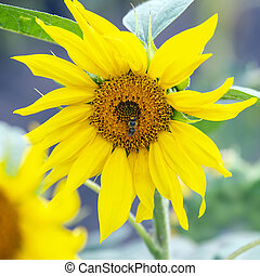 the bee pollinating the flower of a sunflower closeup. botany and vegetation