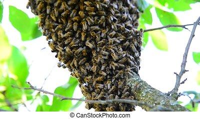 The bee swarm on plum tree - The bee swarm on the plum tree
