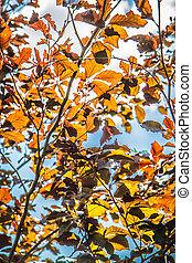 The Beech tree (Purpurea pendula)