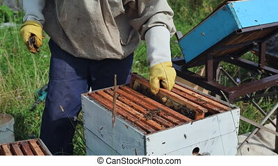 The beekeeper looks after bees, honeycombs full of honey, in...