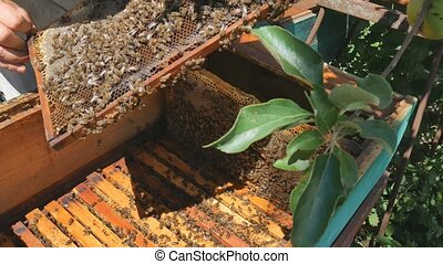 The beekeeper pulls out a frame of honey from the hive.