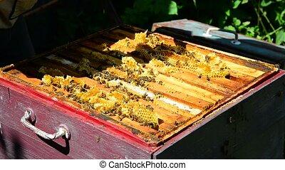 The beekeeper puts honeycomb into bucket - The beekeeper...