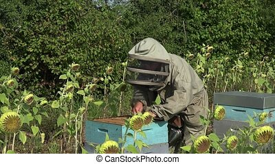 the beekeeper takes out a framework - checking the condition...