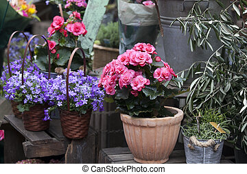 the Begonia and Campaign in pots as a decoration of the wall of the house