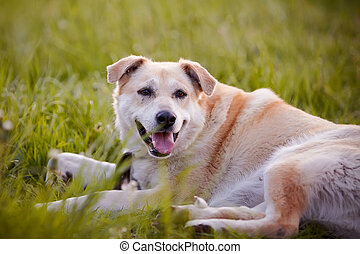 The beige large not purebred dog lies on a grass.