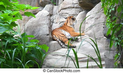 The Bengal tiger laying on rocks - Calm Bengal tiger laying...