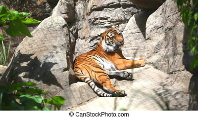 The Bengal tiger laying on rocks - Beautiful and dangerous...