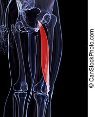 The biceps femoris long head - 3d rendered illustration of...