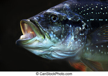 The big fish with an open mouth on a black background