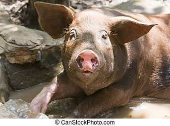 pig - The big good-natured pig lies in a puddle