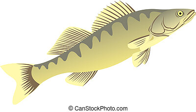 The big pike perch. Successful fishing. The big fish