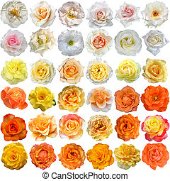 The Big Set of light roses blooms