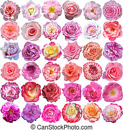 The Big Set of roses blooms - The Big Set of light roses...