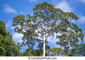 The big tropical tree with sky background, view from below. ...