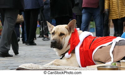 The big white dog of a homeless beggar lies in a funny Santa...